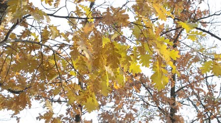 timberland : Quercus robur. Branches with yellow foliage of English oak in autumn filling the frame