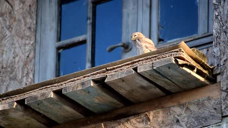 serra : Owl sitting on old abandoned building turns its head to camera Vídeos