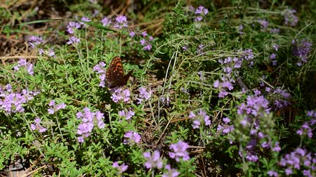 mar : Butterfly on thyme flowers collecting nectar or pollen in summer Vídeos