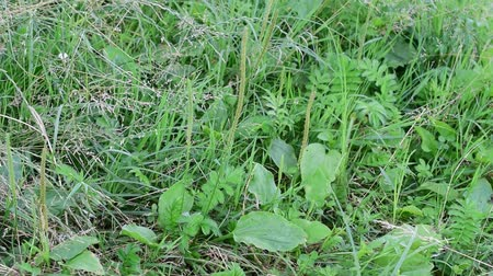 İngilizce : Plantago major. Green greater plantain in a meadow with grass and lush green herbs