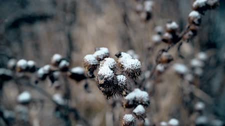 prickly : Closeup of dry burdock prickly head covered snow. Macro shot. Stock Footage