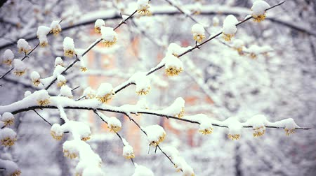 ramo : Wintry day in spring. Snow falls on flowers of cornus offcinalis or cornealian cherry or korean cornel dogwood