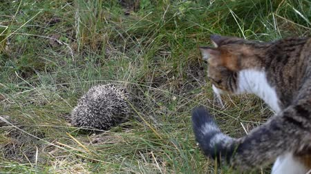 evcil : Hedgehob attacks a curious cat by biting it outdoors on background of green grass