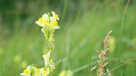 calyx : Linaria vulgaris. Common toadflax, yellow toadflax, or butter-and-eggs is a species of toadflax. Plantaginaceae family