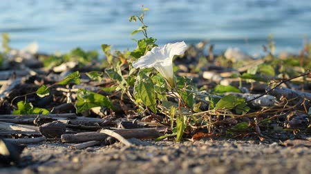 trepadeira : Beautiful white field bindweed flower on shore near river.
