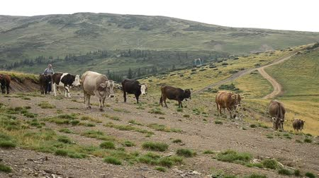 livestock sector : UKRAINIAN CARPATHIANS, CIRCA 2015 - Aged herdsman leads cows on mountain valley in picturesque ukrainian Carpathians circa 2015. Stock Footage