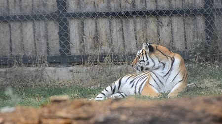 ntsc : Siberian Tiger Relaxing after meal - Stock Video