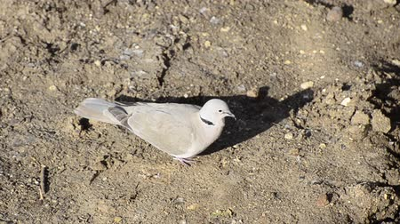 collared : Collared Dove bird, Streptopelia decaocto