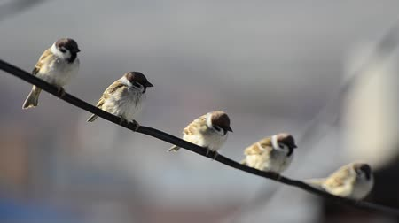 small group of animals : Sparrow birds sitting on wire