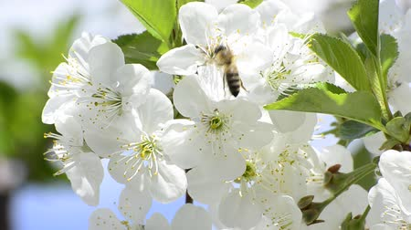 mel : honey bees collect flower nectar, shallow field of depth background