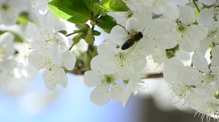 polinização : honey bees collect flower nectar in spring, shallow field of depth background