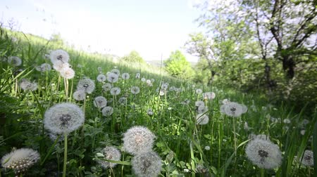 cycle : Natural video background. Dandelions in the meadow Stock Footage