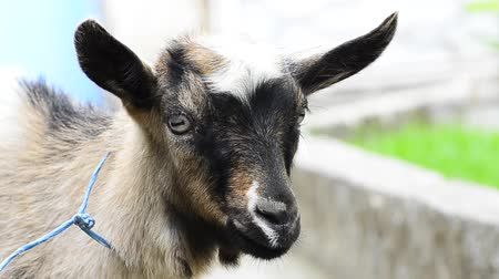 billy goat : HD: Young mountain goat kid close up