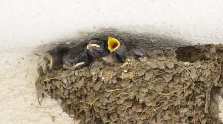 bird family : Swallow Baby Chicks Feeding on Nest (HD), Four Swallow Baby chicks on nest waiting mouth oppened to be fed by their parents.