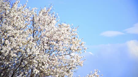 cereja : Cherry tree flowers blooming in springtime.Tree sway by wind against blue sky medium shoot Stock Footage