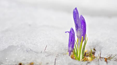 krokus : Group of blossom and bud crocus grown on a white snowed field,beautiful spring flowers- crocus