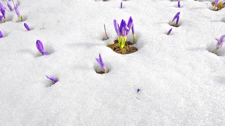 krokus : steady cam spring shoot of Saffron blossoms on white winter snow. Fly over meadow of spring flowers on melting snow