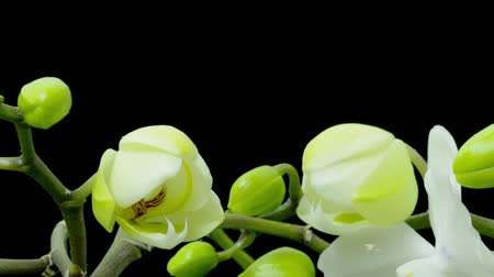 orquídeas : Time-lapse of white phalaenopsis orchid opening Stock Footage