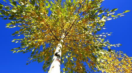 cena não urbana : HD: Autumn tree - Stock Video. HD1080p: View on tree top in autumn from the ground.