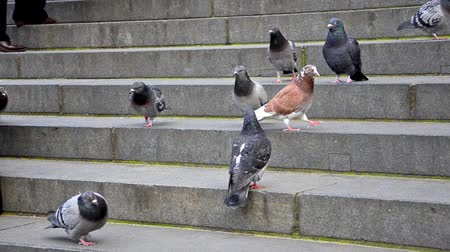 schody : Pigeons on the catedral stairs