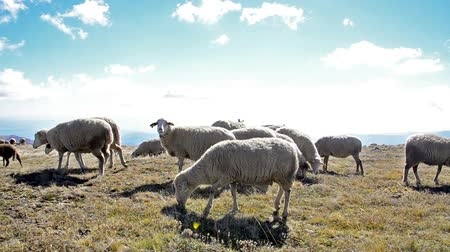 koyun : Counting Sheep - Stock Video. A multitude of New Zealand sheep rushing over a hilltop