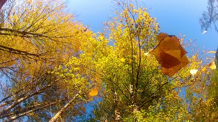 dead tree : Autumn leaves in fall slow motion, tree top view from the bellow Stock Footage