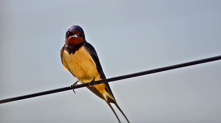 nyel : house swallow