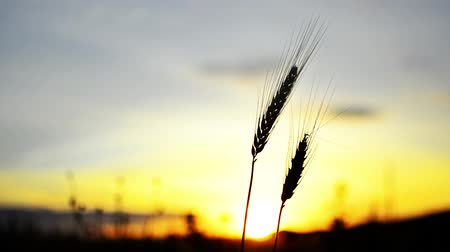 préri : Wheat ear silhouette swing on sunset