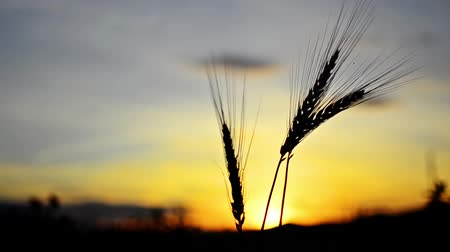 cereais : Wheat ear silhouette on sunset Vídeos