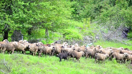 Herding Sheep in Mountains, Flock of Sheep Grazing on Hill, Pastoral Landscape