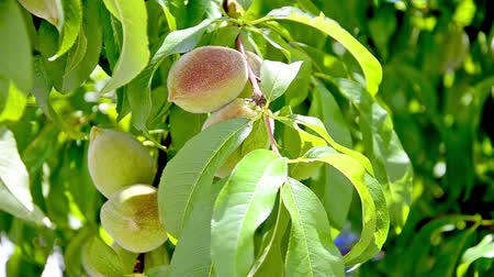 brzoskwinie : Ripening peach tree with fruit in development stage