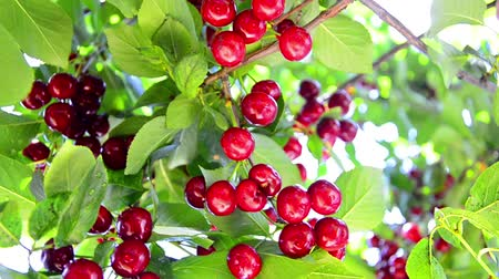 savanyú : Ripening Cherry and sour cherry orchard tree