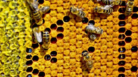 pszczoła : Close-up view of bees on honeycomb Wideo