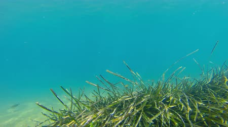 podwodny swiat : 4k Eel grass sways in the currents.