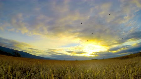 pszenica : 4k timelapse of ears of wheat swaying in the breeze at sunset