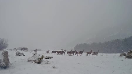 jelen : Group of deer walking from left to right in winter time white snow blizzard copy space, HD stock video Wideo