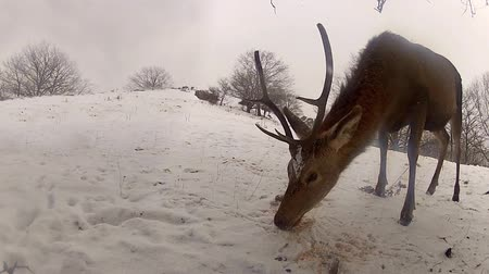papel : Group of Deer in Wildlife, Winter Snow blizzard, Male and Female Red Deer Stok Video
