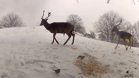 at kuyruğu : Group of Deer in Wildlife, Winter Snow blizzard, Male and Female Red Deer Stok Video