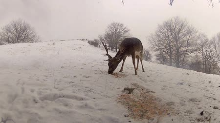 polowanie : Group of Deer in Wildlife, Winter Snow blizzard, Male and Female Red Deer Wideo