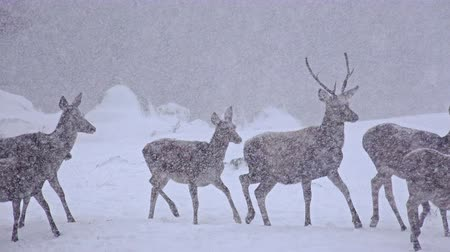 quad hd : 4k White-Tailed Deer In The Snow, uhd stock video