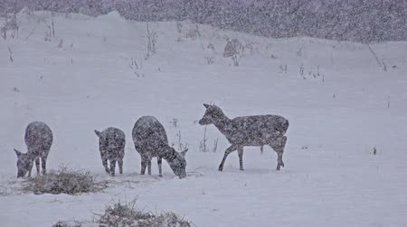 stádo : 4k Group of Whitetail Deer mature bucks, January winter snow blizzard, uhd stock footage