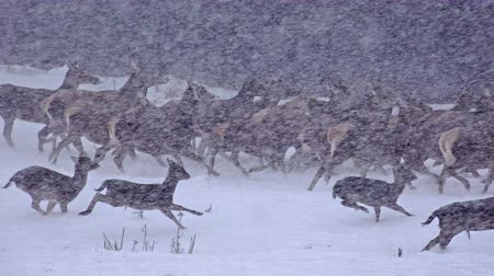 kar fırtınası : 4k Group of Whitetail Deer mature bucks, January winter snow blizzard, uhd stock footage