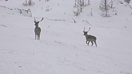 cervus elaphus : 4k Large whitetailed deer buck in an snow open meadow, uhd stock video Stock Footage