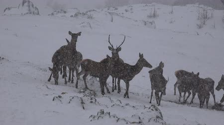 cervus elaphus : 4k European Red deer (cervus elaphus) on snow blizzard, uhd stock video