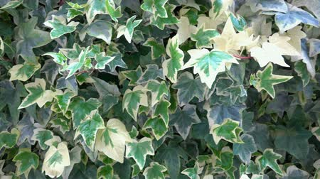 quad hd : 4k Ivy leaves close up. A close up of an Ivy plant with its greens leaves. UHD steadycam stock footage