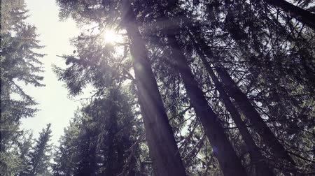 güneş ışını : Sun light filters through trees in dense forest. UHD 4K steadycam stock footage Stok Video