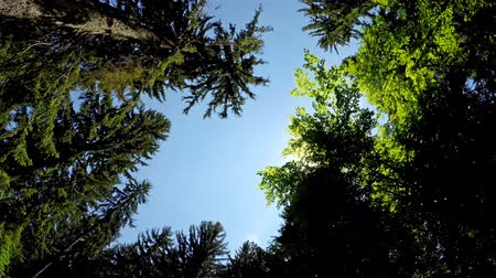pinho : Driving pov under giant forest pine trees with sun shining. UHD 4K stock video Vídeos