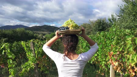 winnica : vineyard at harvest time. Happy girl with basket walk amoung grapes rows, back view steadicam shot