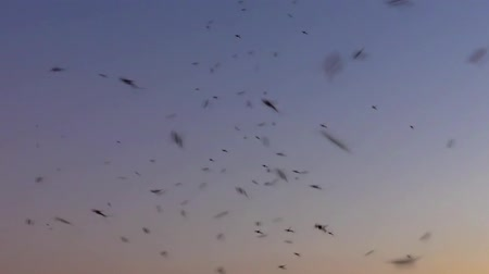 komary : Mosquitoes at sunset