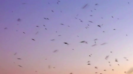 komary : mosquitoes swarm buzzing in nature at sunset Wideo